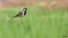Red-wattled Lapwing (harshithjv) Tags: bird birding red wattled lapwing redwattledlapwing vanellus indicus charadriiformes charadriidae aves avian canon 80d tamron bigron g2