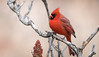 Cardinal (rmikulec) Tags: cardinal northern bird birding birdwatch nature wild wildlife red animal