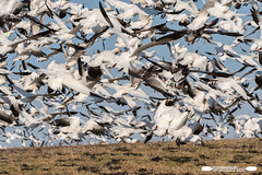 Mass Exodus From The Hill (freshairphoto) Tags: snow geese goose flight blastoff hill shadow sky middle creek wildlife management area kleinfeltersville pa artspearing nikon d500 200500 zoom handheld