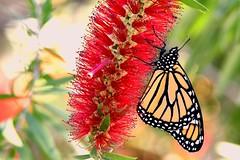 Bottle brush bloom and a monarch DSC_7773 (blthornburgh) Tags: monarch monarchdanausplexippus milkweedbutterfly butterfly insect flyinginsect florida flower bloom bottlebrush red orange color pattern tampa thornburgh backyard nature