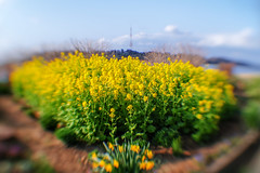 field-of-rapeseed-flowers_170318 (kazua0213) Tags: sd quattro sigma soratama flower