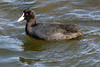 Coot (Roy Lowry) Tags: coot ludo faro fulicaatra