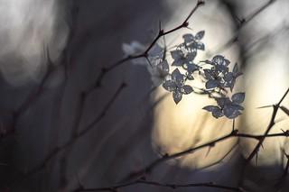 Hydrangea and evening light.
