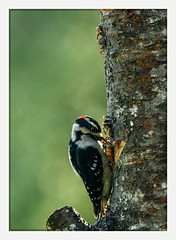 get in it (chickentender™ (Eyewanders Foto)) Tags: ornithology washingtonstate backyard birdfeeders birding da300mmf4 deck downywoodpecker eyewanders eyewandersfoto film olympia pentax pentaxk3 projectfeederwatch pnw pacific northwest cascadia