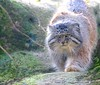 A Walk On The Wild side....... (law_keven) Tags: pallascat cats cat animals mammal paris france wildlife wildlifephotography photography zoo zoology