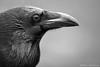 Raven (Mike Mckenzie8) Tags: corvus corax british uk wild wildlife bird corvid winter black feather damp