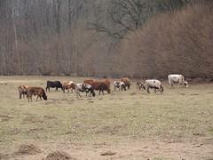 Rindviecher im Schellbruch Lübeck , NGID1965526250 (naturgucker.de) Tags: ngid1965526250 naturguckerde hausrindbosprimigeniussubsptaurus schellbruchlübeck cwolfgangkatz