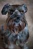 Oscar (Cheryl3001) Tags: lensbaby twist 60 dog schnauzer canon 5d mark iii