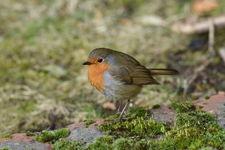 The cottage Robin