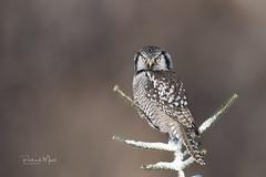 Chouette éperviere / Northern Hawk Owl (richard_morel) Tags: richard morel dunham