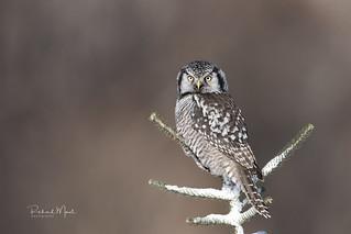 Chouette éperviere / Northern Hawk Owl