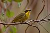 Yellow tufted honeyeater (crispy1612) Tags: yellowtuftedhoneyeater nikon d500 200500 f56 chiltern north east victoria honeyeater picnic area mount pilot national park birdlife