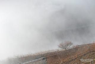 Brume sur la vigne - Mist on vineyard