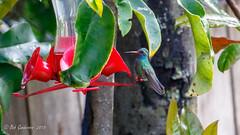 Broad-billed Hummingbird (Bob Gunderson) Tags: birds broadbilledhummingbird california cynanthuslatirostris gearyand36th hummingbirds northerncalifornia sanfrancisco