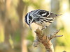 Black-and-White Warbler 02-12180317 (Kenneth Cole Schneider) Tags: florida miramar westmiramarwca