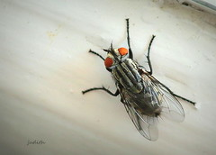 there's a fly in the ointment (Judecat (back on the farm)) Tags: nature wildife fly bored