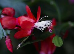 Flowers. (ost_jean) Tags: lidcactus plants nikon d5200 tamron sp 90mm f28 di vc usd macro 11 f004n ostjean