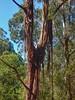 Peeled off bark (sander_sloots) Tags: gumtree eucalyptus tree bark peeled off shed dandenong ranges national park belgrave melbourne australia gomboom bast eucalypt boom boombast schors loslaten