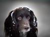 Cold Bonnet (kitwilliams91) Tags: canine dog pet cocker