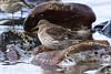 Purple Sandpiper (Dougie Edmond) Tags: bird beach water birds nature wildlife springtime spring canon prestwick scotland unitedkingdom gb