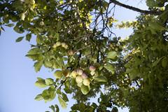 (Beathe) Tags: sando home summer morning sun garden plum tree flash img6024