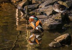 Reflection - Mandarin Duck (achim-51) Tags: wasser felsen ente duck mandarin see panasonic lumix dmcg5 spiegelung reflection