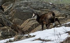IMGP3913 (Rossano D'Achille) Tags: camoscio chamois valsavarenche aostavalley valledaosta