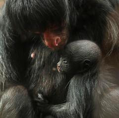 redfaced spidermonkey artis BB2A6701 (j.a.kok) Tags: mammal monkey artis animal aap zoogdier zuidamerika southamerica slingeraap roodgezichtslingeraap redfacedspidermonkey spidermonkey baby babymonkey moederenkind motherandchild