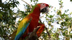 Great Green_Scarlet (hybrid) Macaw (Gail Casteel) Tags: alajuela travel avian wildlife nature birdwatching birds great green scarlet hybrid macaw costarica