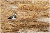 Kievit (Hetwie) Tags: bird natuur nature lente kievit vogel lapwing brouwhuis water helmond noordbrabant nederland nl