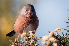 Dartford Warbler (PedroLanders) Tags: bird dorset arne rspb
