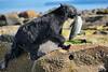Good Catch (PamsWildImages) Tags: bc britishcolumbia blackbear nature naturephotographer wildlife wildlifephotographer vancouverisland pamswildimages pammullins canada canon
