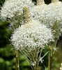 Bear Grass (maytag97) Tags: maytag97 nikon d750 tamron 150600 150 600 outdoor outside natural flower sunlit sunlight white detail closeup grass bear flowers indian basket background wildflowers spring group sun northwest wildflower tenax xerophyllum nature bloom green plant pacific flora alpine color floral petal stem botanical blooming vegetation blossoms macro beargrass
