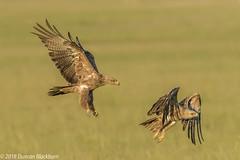 Two for the price of one.... (Duncan Blackburn) Tags: 2018 kenya masaimara bird tawnyeagle nikon nature wildlife