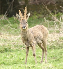 Roe Buck - shedding his winter coat (glostopcat) Tags: roebuck roedeer buck deer animal mammal wildlife april spring glos