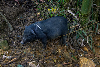 A Black Pig Tied to a Bamboo Tree, Sapa, Lào Cai, Vietnam