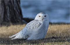 Lakeside Snowy (hd.niel) Tags: snowyowls owls lateseason spring nature lakeontario photography wildlife