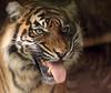 sumatran tiger Burgerszoo BB2A9447 (j.a.kok) Tags: tijger tiger sumatraansetijger sumatrantiger pantheratigrissumatrae animal asia azie predator kat cat mammal zoogdier dier burgerszoo
