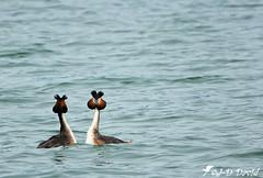 Grèbe huppé - parade 05 (jean-daniel david) Tags: oiseau oiseaudeau lac lacdeneuchâtel yverdonlesbains eau grèbe grèbehuppé paradenuptiale parade duo couple nature reflet volatile