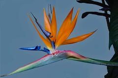 Strelitzia (Uhlenhorst) Tags: 2017 australia australien flowers blumen plants pflanzen travel reisen