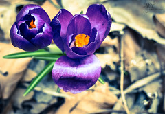 Spring Awakening. (Jackie O. Photography) Tags: spring crocus flowers flower purple ohio kirtland lake county 2018 matte jackieophotography jackieoliverio nature outdoors outside green explore flickr photography pictures macro 50mm