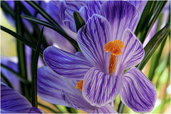 yesterday ... (miriam ulivi) Tags: miriamulivi nikond7200 fiori flowers crocus viola verde purple green arancione orange nature