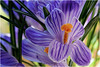 yesterday ... (miriam ulivi - OFF /ON) Tags: miriamulivi nikond7200 fiori flowers crocus viola verde purple green arancione orange nature