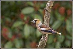 _DSC0024_Grosbec casse noyaux (patounet53) Tags: coccothraustescoccothraustes fringillidés grosbeccassenoyaux hawfinch passériformes bird oiseau