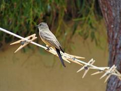 Clothes line (thomasgorman1) Tags: line wild wildlife mx mexico baja pin flycatcher