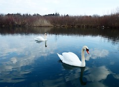 Mute swans (mrsparr) Tags: swans muteswans birds ontario canada water reflections lakeontarioinlet ourdailychallenge odc savingourheritage outdoorphotography 7dwf landscape