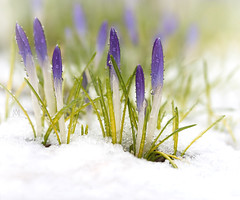 April snow (marianna_armata) Tags: crocus flower spring snow macro flora cold winter mariannaarmata plant water drop rain