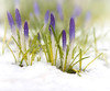 April snow (marianna_a.) Tags: crocus flower spring snow macro flora cold winter mariannaarmata plant water drop rain