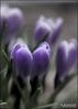Crocuses... (angelakanner) Tags: canon70d lensbaby velvet56 garden crocus purple