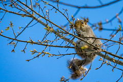 Squirrel eating sprouting leaves (John Brighenti) Tags: squirrel stree leaves spring sky branches sticks fur yum sony sonyalpha sonyalpha7 sonya7 a7 camera sel70300g capitolhill washington dc washingtondc ilce7